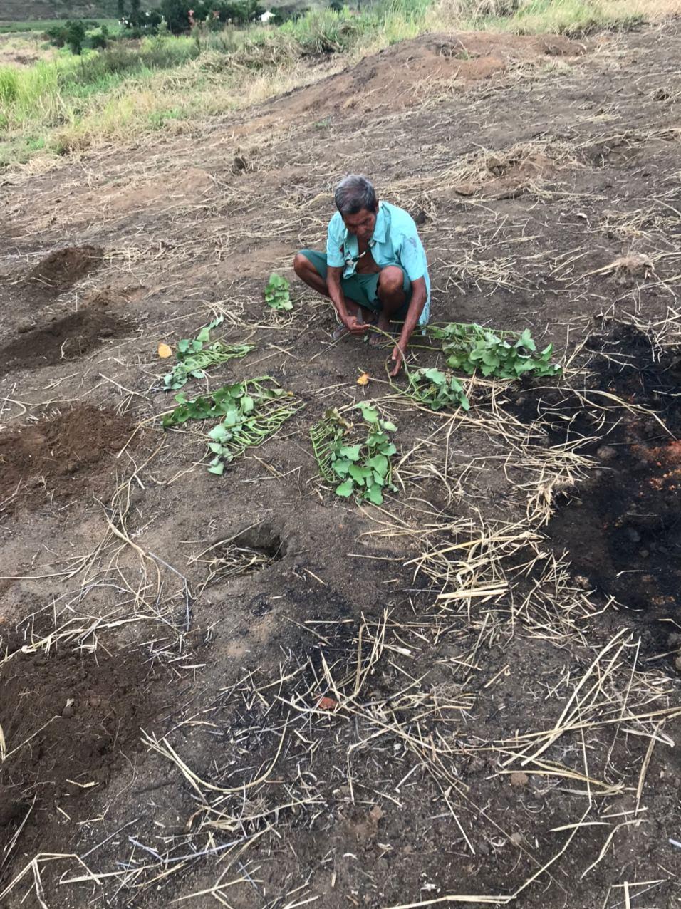 Maxakali plantando batata doce